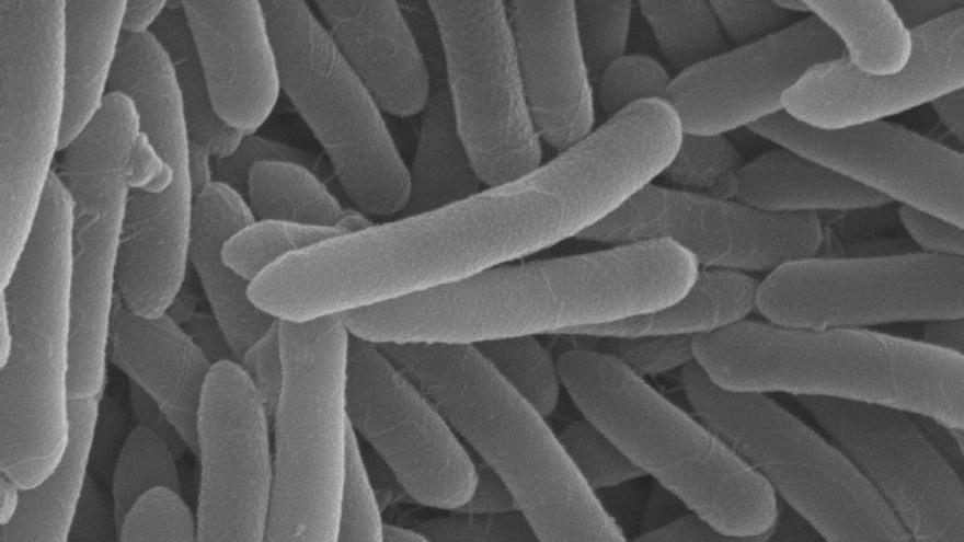 Bacillus onubensis al microscopio