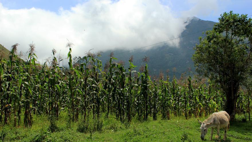 Un campo de maíz en el cráter del extinto volcán Pululahua, Ecuador   FOTO: Jaime Giménez