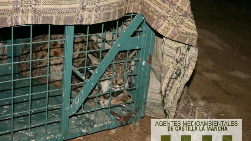 Lince ibérico atrapado en una jaula-trampa / APAM-CLM