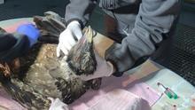Chequeo veterinario de los pollos de quebrantahuesos en Ordesa.