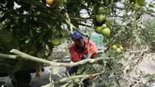 Cultivo del tomate bajo malla, en Gran Canaria