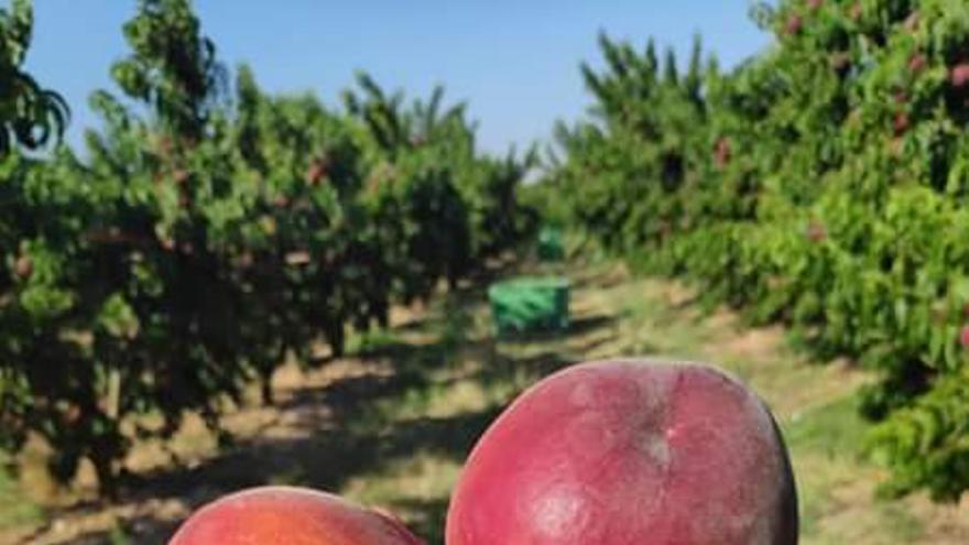Un agricultor tarda más de seis meses en cobrar 17 céntimos por un kilo de melocotones como este que en unos días se venden a más de dos euros en las tiendas.