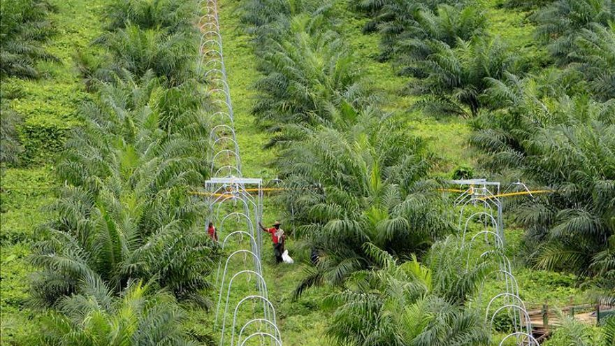 Plantación de palma.
