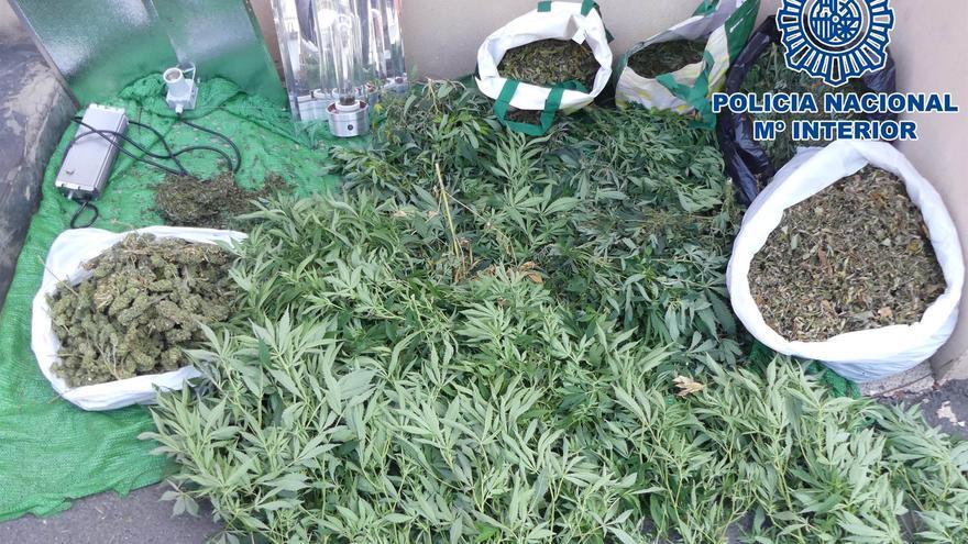 Plantas de marihuana incautadas en Telde.