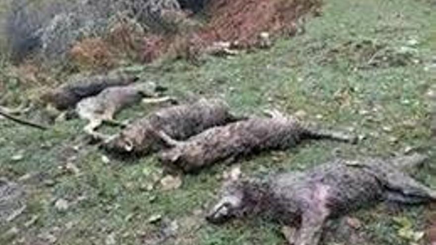Eologistas en Acción recurrirá el protocolo de regulación del lobo en Picos de Europa si se aprueba