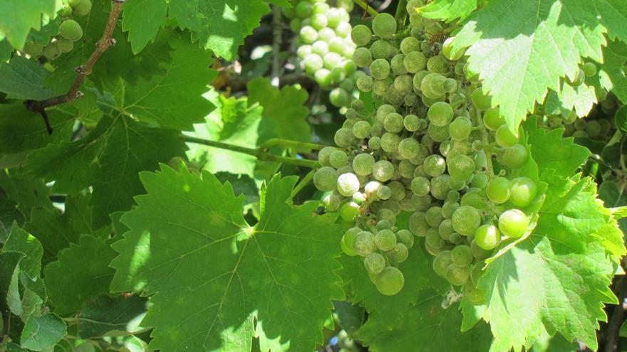 La producción total de uva de vinificación de Andalucía cae este año un 5,8% hasta las 173.150 toneladas