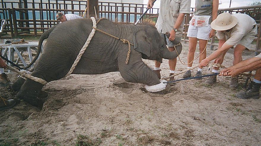 Bebé elefante adiestrado con métodos violentos para el circo Ringling. Foto: ©Peta
