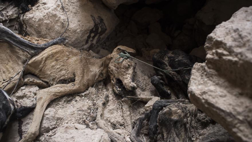 Cadáveres de los perros usados para cazar que fueron encontrados en una fosa común en Tarancón (Cuenca)
