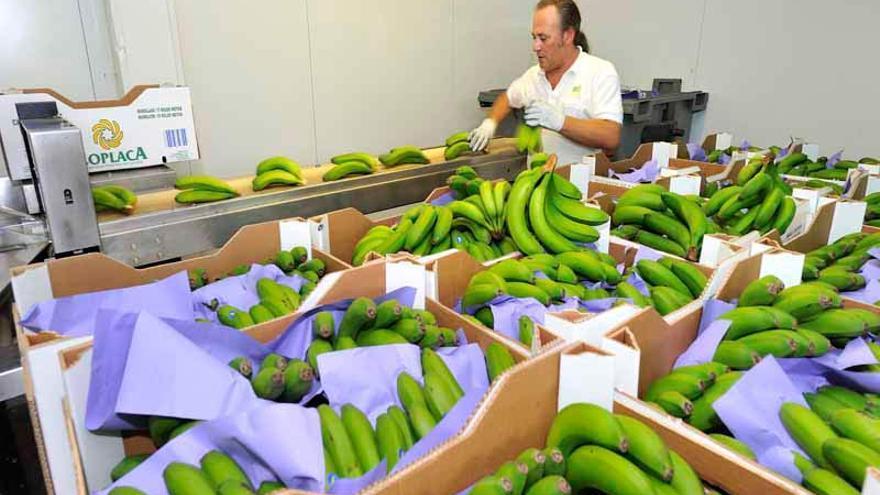 Plátano de Coplaca que vende la firma Eurobanan, controlada, por ahora, por esa cooperativa tinerfeña y Fyffes