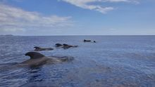 Cetáceos avistados en aguas de Canarias