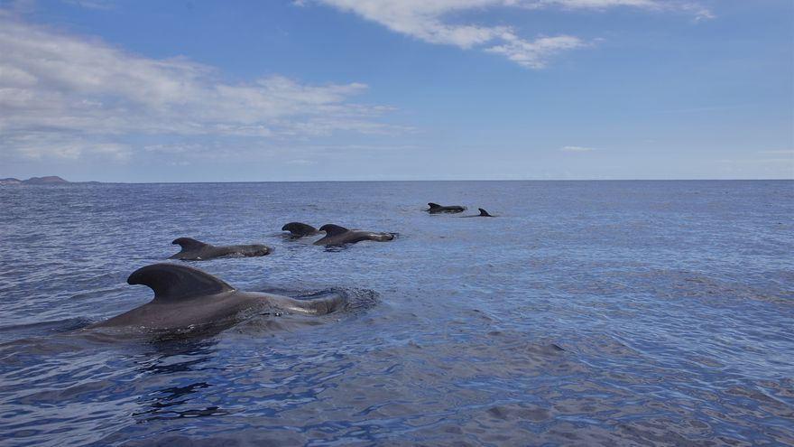 Avistados cientos de delfines moteados en aguas canarias.
