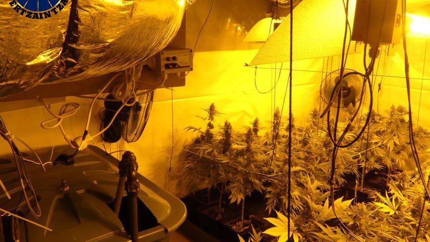 Plantación de marihuana incautada en Elantxobe (Bizkaia)