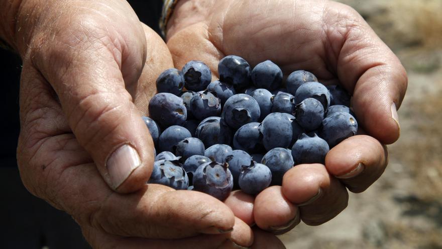 Los arándanos de sierra se han convertido en una opción económica para la zona/FOTO: F.C.