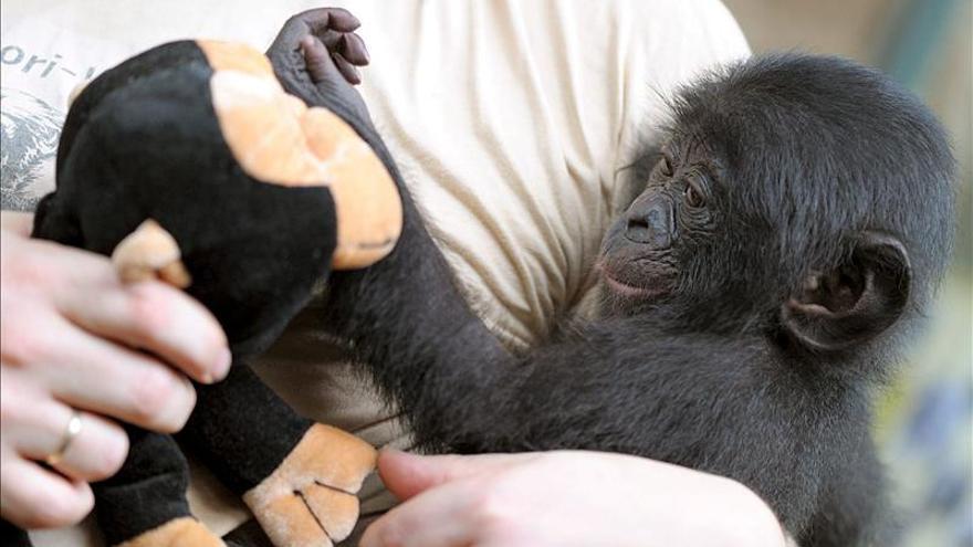 El atractivo sexual de las hembras bonobos, clave para dominar a los machos