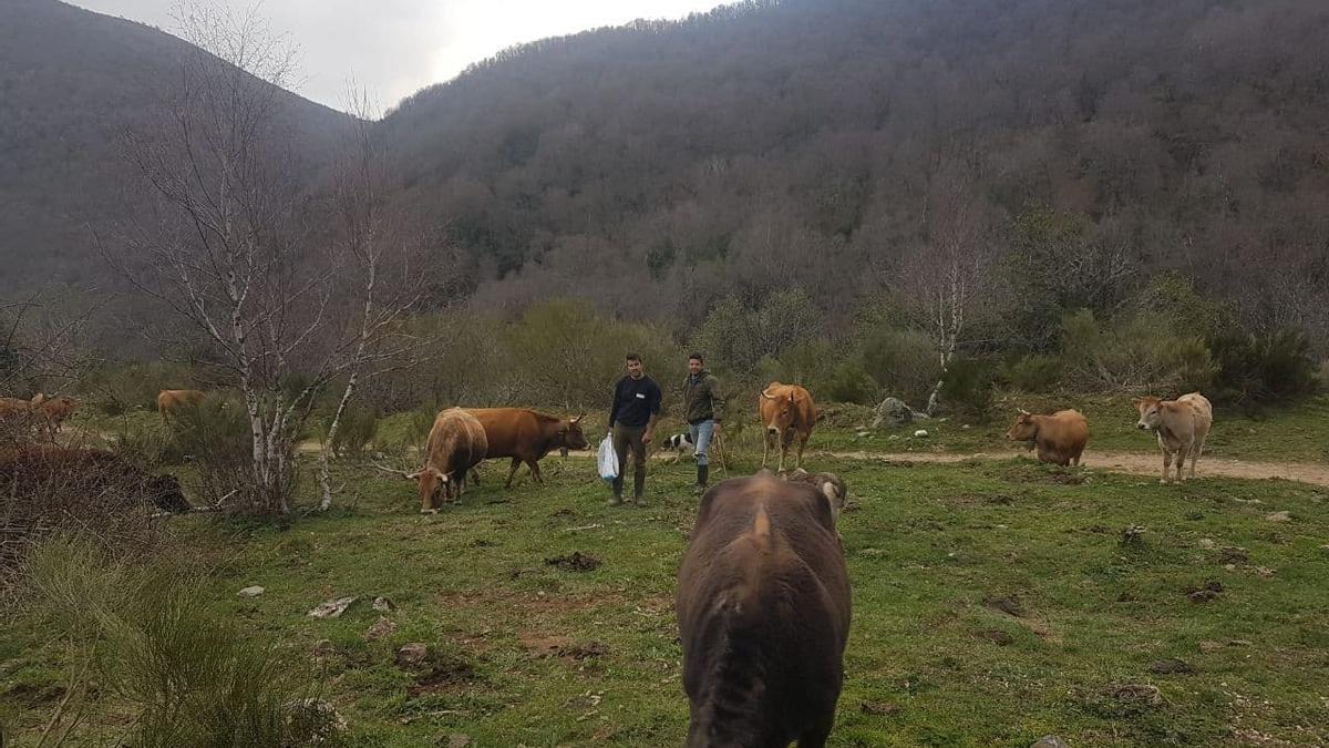 Isidro y Baldo con su rebaño de vacas.