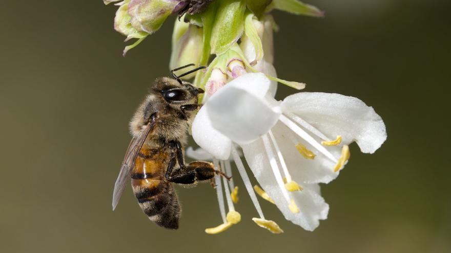 Una abeja melífera en una flor.