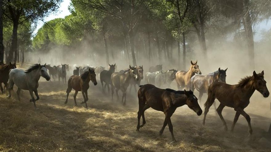 Hinojos saca más de 200 equinos de la marisma de Doñana en la 'Recogida de las Yeguas'