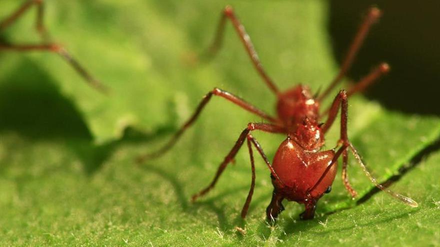 Las hormigas se sirven de referencias terrestres y estelares para orientarse