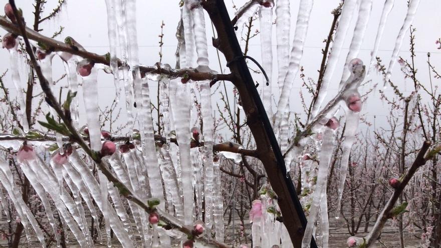 Melocotoneros helados en el paraje de La Carrichosa, en Cieza
