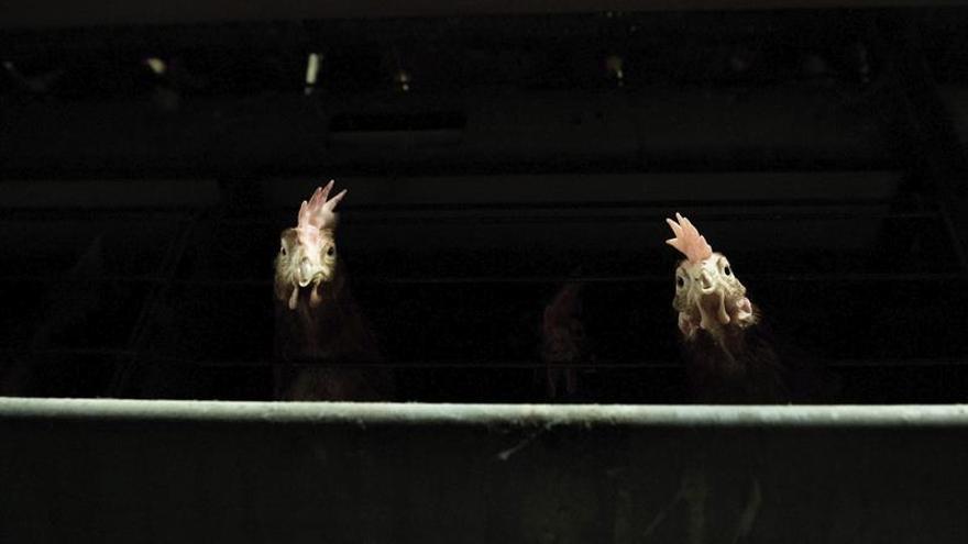 Sacrifican otros 210.000 aves de corral en Japón por el brote de gripe aviar