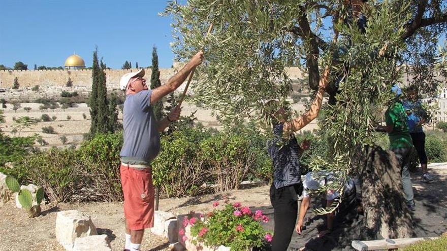 """El aceite """"sin precio"""" de los olivos milenarios de Getsemaní"""