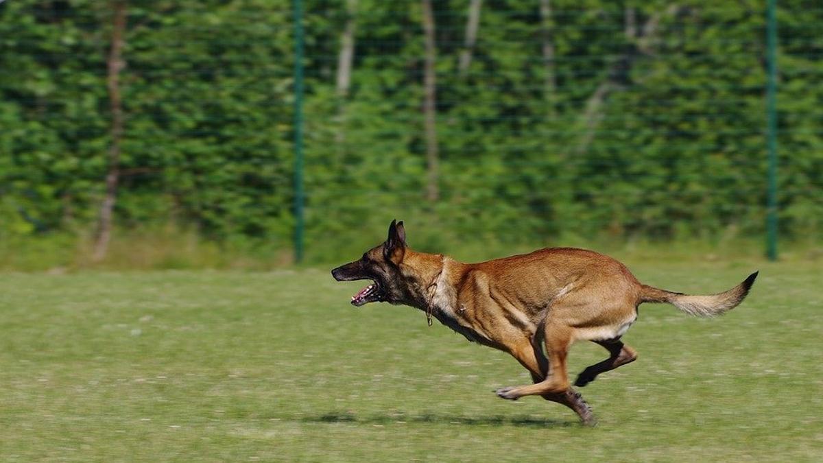 Un perro de la raza pastor belga malinois