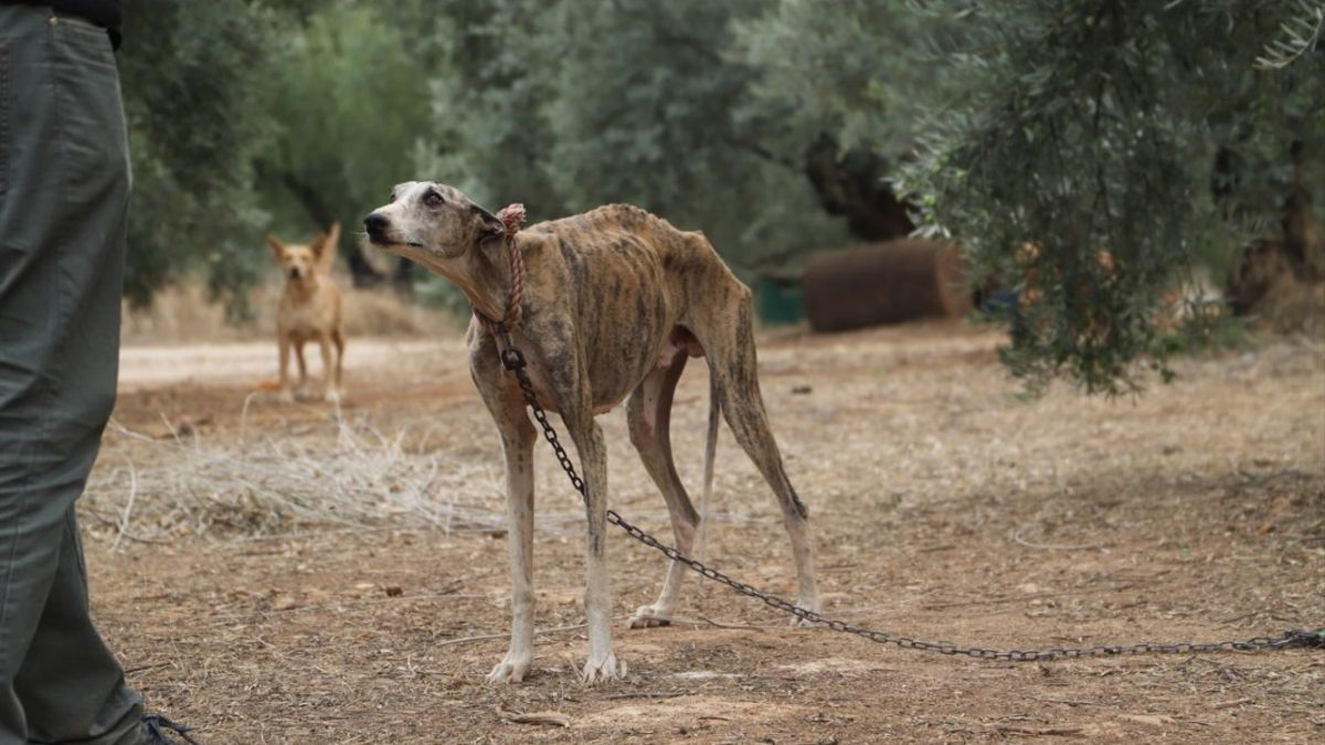 Perro encadenado a un olivo, en un rescate de animales en mal estado.