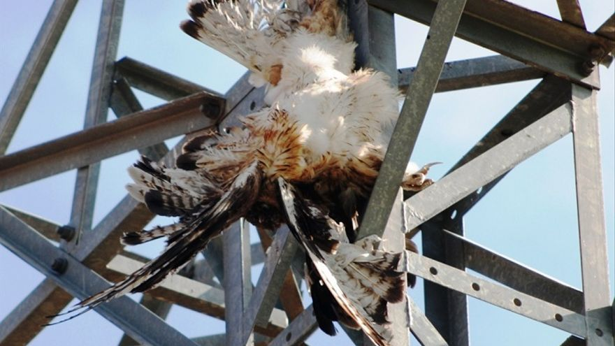 Águila electrocutada