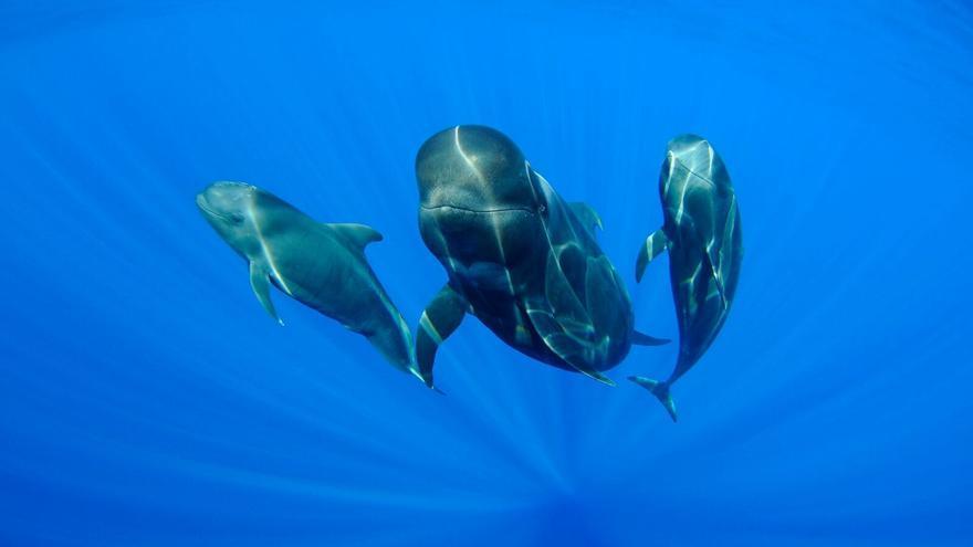 Ejemplares de ballena piloto