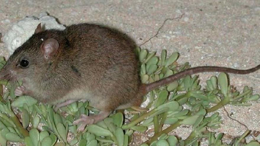 El Bramble Cay melomys, un roedor ya extinto.