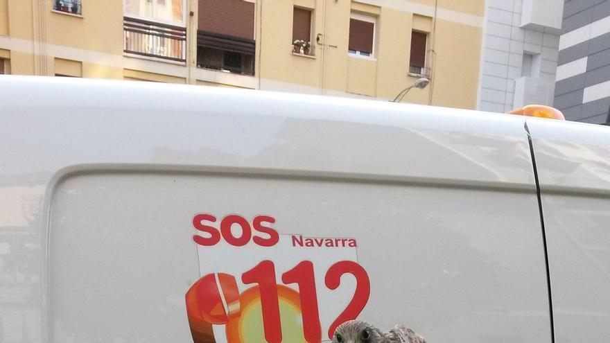 Un cernícalo 'volantón' pasa la noche en las instalaciones de la Policía Municipal de Pamplona