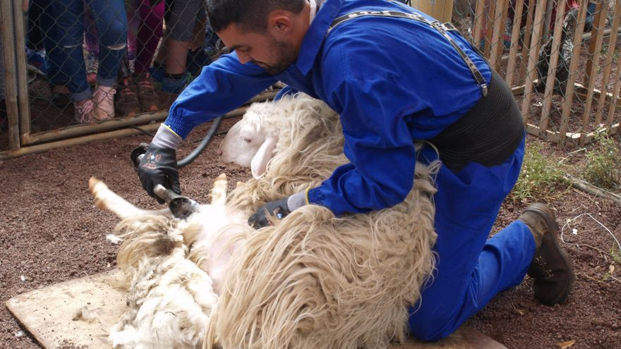 El joven ganadero Diego Reyes esquilando una oveja de raza palmera.