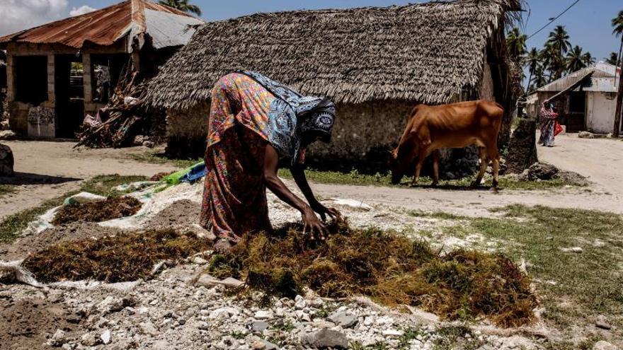 Una mujer recoge un cultivo de algas a orillas del océano Índico en Bjwejuu, en la isla tanzana de Zanzíbar.