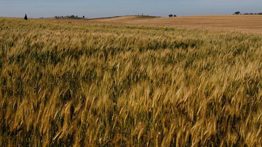El cultivo de los cereales determinó las jerarquías sociales en el Neolítico