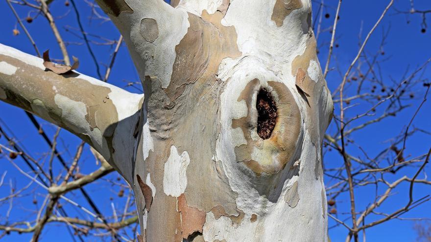 Agujero en el tronco de un plátano que sirve como refugio a estas aves