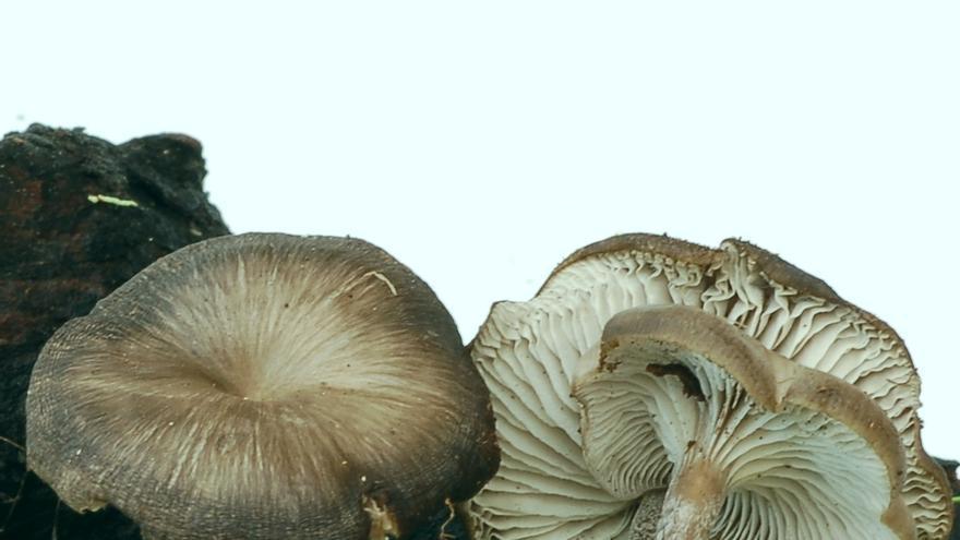 Clitocybula striata.