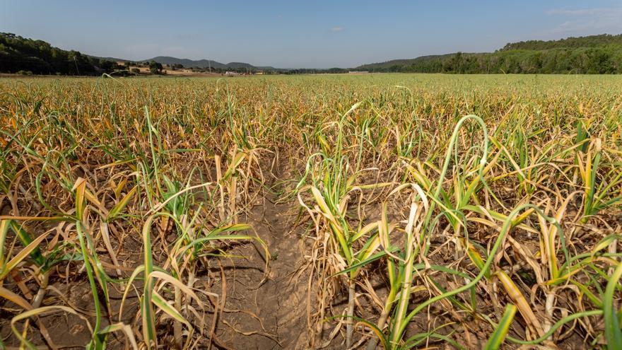 Las organizaciones agrarias denuncian que las modificaciones propuestas para el seguro del ajo podrían acabar con el sector