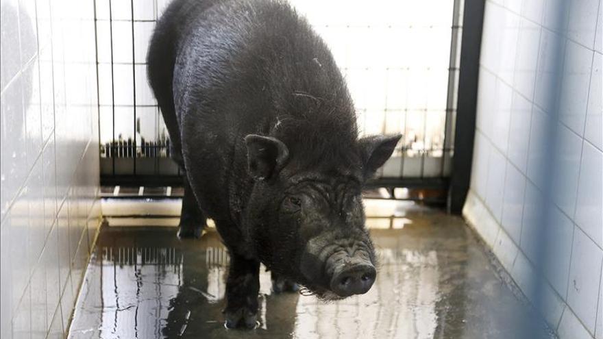Capturan un cerdo vietnamita abandonado hace meses en una calle de Sevilla