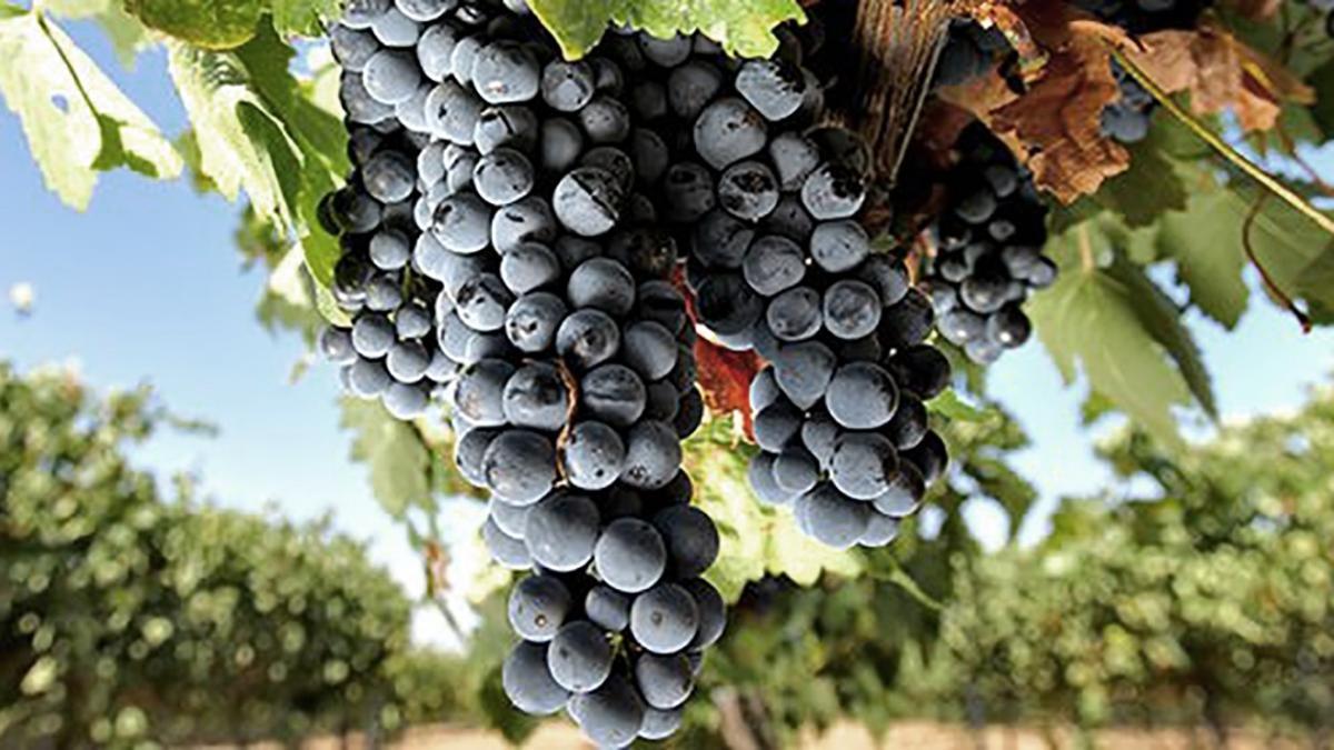 Del total plantado en Argentina con Cabernet Sauvignon, Mendoza posee 76,1 %.