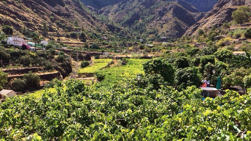Panorámica desde una de las fincas donde se cultiva el café de Agaete. Foto: Agroagaete.