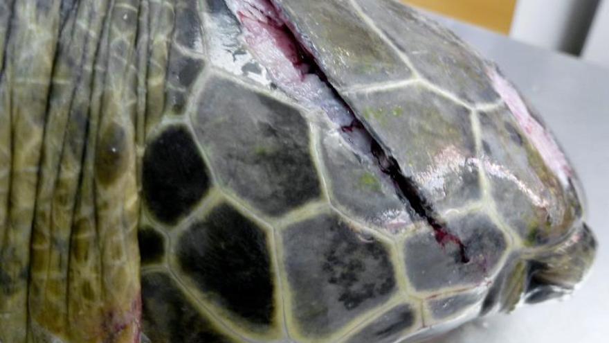 """El mar acoge a """"Quelonia"""", la tortuga salvada de una muerte a machetazos"""
