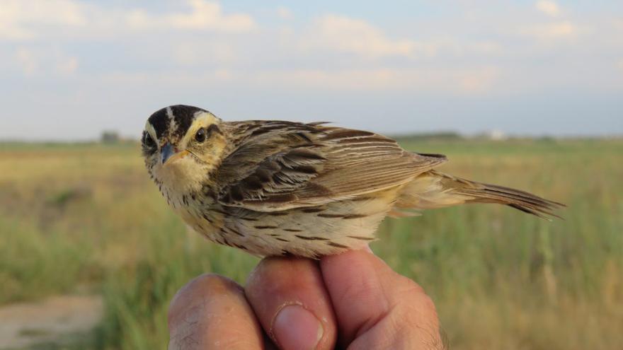 Castilla-La Mancha colabora para frenar el descenso del carricerín cejudo, el ave más amenazada en Europa