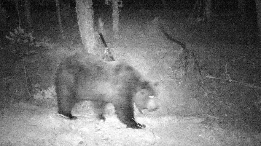 El oso Neré es un macho procedente de Eslovenia y nacido en 1997
