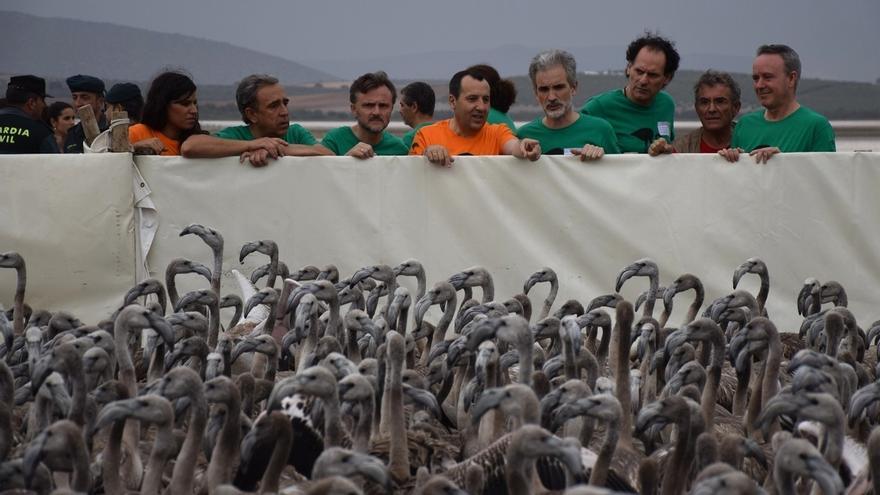 Marismas del Odiel acoge este sábado el único anillamiento de pollos de flamenco que se realiza en Andalucía