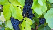 Agricultura acuerda ampliar el plazo para la solicitud de las ayudas POSEI al cultivo de la viña