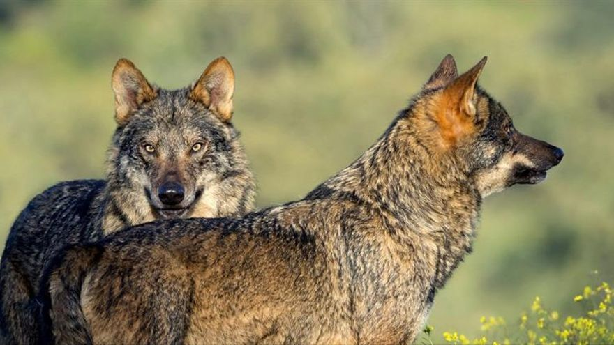"""""""Barbacana, la huella del lobo"""" desmitifica el conflicto con el mundo ganadero"""