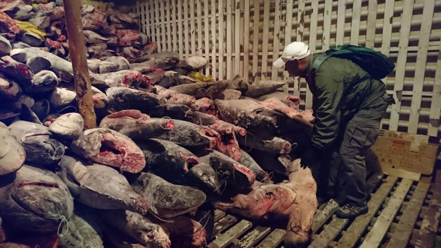 Un carguero chino portaba miles de tiburones pescados ilegalmente en Las Galápagos.