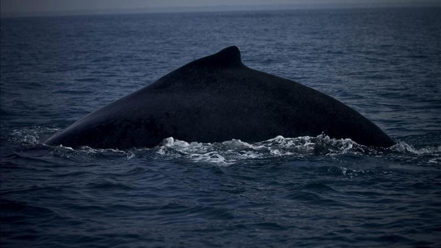 Uruguay ratifica que pedirá incrementar la protección de las ballenas en el Atlántico Sur