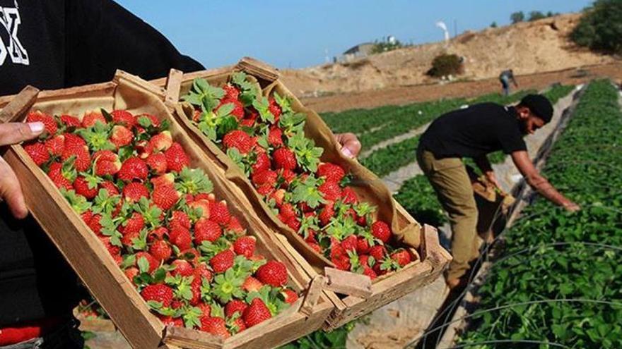 Gaza envía sus fresas a Europa tras la decisión israelí de permitir exportarlas