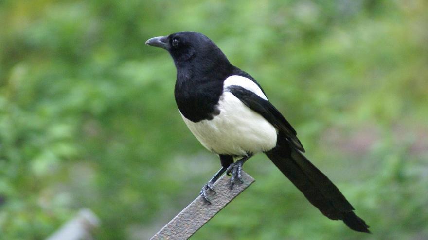 La urraca se ha convertido en una amenaza para las aves autóctonas del Millars.